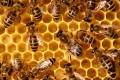 MADR/Mai puțină birocrație și mai multă eligibilitate în acordarea sprijinului financiar pentru apicultori