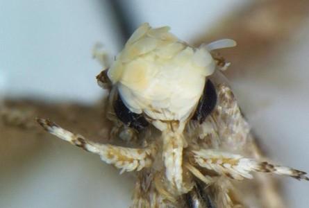 Formă neobișnuită de protest/ O specie de molie cu ciuf portocaliu și penis mic, botezată Neopalpa donaldtrumpi