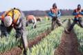 Criză de forţă de muncă în agricultura britanică/ Cauza nu este Brexit-ul, ci boom-ul economic din Europa de Est